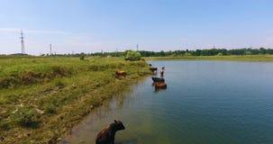 Οι αγελάδες βόσκουν σε ένα λιβάδι απόθεμα βίντεο