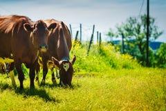 Οι αγελάδες βόσκουν στον πράσινο τομέα λιβαδιών Στοκ Φωτογραφία
