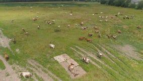 Οι αγελάδες βόσκουν στο λιβάδι Στοκ Εικόνες