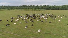 Οι αγελάδες βόσκουν στο λιβάδι Στοκ εικόνα με δικαίωμα ελεύθερης χρήσης
