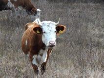 Οι αγελάδες βόσκουν στο λιβάδι στοκ φωτογραφία