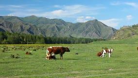 Οι αγελάδες είναι βοημένες στο λιβάδι μεγάλα βουνά βουνών τοπίων απόθεμα βίντεο
