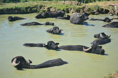 Οι αγελάδες και οι βούβαλοι είναι σημαντικοί για το γάλα και πάχυνση, Στοκ Φωτογραφίες