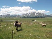 Οι αγελάδες και το βουνό Durmitor στο υπόβαθρο Στοκ φωτογραφία με δικαίωμα ελεύθερης χρήσης
