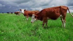 Οι αγελάδες κατοικίδιων ζώων βόσκουν το καλοκαίρι σε ένα πράσινο λιβάδι απόθεμα βίντεο