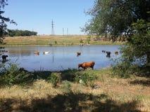 Οι αγελάδες λούζουν στον ποταμό στοκ φωτογραφία με δικαίωμα ελεύθερης χρήσης
