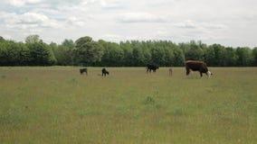 Οι αγελάδες με τους μόσχους βόσκουν στο λιβάδι σε ένα υπόβαθρο του δάσους και του μπλε ουρανού φιλμ μικρού μήκους