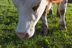 οι αγελάδες σε βοοειδή που εξισώνουν το Σεπτέμβριο τον ουρανό στη νότια Γερμανία είναι Στοκ εικόνες με δικαίωμα ελεύθερης χρήσης