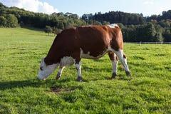 οι αγελάδες σε βοοειδή που εξισώνουν το Σεπτέμβριο τον ουρανό στη νότια Γερμανία είναι Στοκ Εικόνες