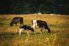 Οι αγελάδες στον τομέα, γυαλίζουν το αγροτικό τοπίο, αργά το βράδυ χρυσό λ στοκ εικόνα