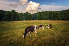 Οι αγελάδες στον τομέα, γυαλίζουν το αγροτικό τοπίο, αργά το βράδυ χρυσό λ στοκ εικόνα με δικαίωμα ελεύθερης χρήσης