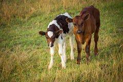 Οι αγελάδες στον τομέα, γυαλίζουν το αγροτικό τοπίο, αργά το βράδυ χρυσό λ στοκ εικόνες