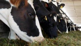 Οι αγελάδες στο αγρόκτημα τρώνε τη χλόη, χορτάρι στο στάβλο, κινηματογράφηση σε πρώτο πλάνο, αγελάδα στο αγρόκτημα, γεωργία, βιομ απόθεμα βίντεο