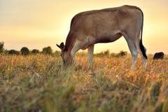 Οι αγελάδες τρώνε τη χλόη για την ευχαρίστηση στους τομείς στην ανατολή και τον όμορφο ουρανό στοκ εικόνα