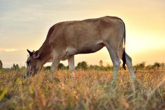Οι αγελάδες τρώνε τη χλόη για την ευχαρίστηση στους τομείς στην ανατολή και τον όμορφο ουρανό στοκ εικόνες