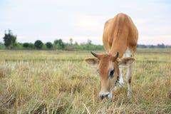 Οι αγελάδες τρώνε τη χλόη για την ευχαρίστηση στους τομείς στην ανατολή και τον όμορφο ουρανό στοκ φωτογραφία με δικαίωμα ελεύθερης χρήσης