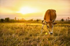 Οι αγελάδες τρώνε τη χλόη για την ευχαρίστηση στους τομείς στην ανατολή και τον όμορφο ουρανό στοκ φωτογραφίες