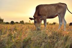 Οι αγελάδες τρώνε τη χλόη για την ευχαρίστηση στους τομείς στην ανατολή και τον όμορφο ουρανό στοκ εικόνες με δικαίωμα ελεύθερης χρήσης