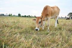 Οι αγελάδες τρώνε τη χλόη για την ευχαρίστηση στους τομείς στοκ φωτογραφία
