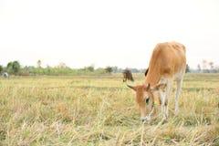 Οι αγελάδες τρώνε τη χλόη για την ευχαρίστηση στους τομείς στοκ φωτογραφίες