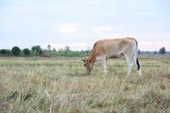 Οι αγελάδες τρώνε τη χλόη για την ευχαρίστηση στους τομείς στοκ εικόνα με δικαίωμα ελεύθερης χρήσης
