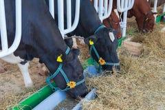 Οι αγελάδες τρώνε το σανό σε ένα αγρόκτημα Στοκ φωτογραφία με δικαίωμα ελεύθερης χρήσης