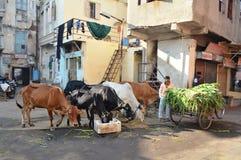 Οι αγελάδες ήταν τροφή στο πρωί κοντά σε Manek Chowk, Ahmedabad Στοκ Εικόνες