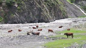 Οι αγελάδες βόσκουν στα βουνά κοντά στο ρεύμα βουνών απόθεμα βίντεο