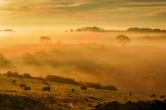 Οι αγελάδες βόσκουν στη δροσοσκέπαστη χλόη στο χρυσό misty φως ενός ήλιου ρύθμισης Στοκ Εικόνες