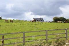 Οι αγελάδες βόσκουν στο λιβάδι Στοκ εικόνες με δικαίωμα ελεύθερης χρήσης