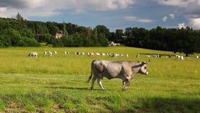 Οι αγελάδες κοπαδιών σε ένα καλοκαίρι βόσκουν στο λυκόφως φιλμ μικρού μήκους