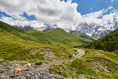 Οι αγελάδες πηγαίνουν σε έναν δρόμο βουνών πράσινο Στοκ Εικόνα