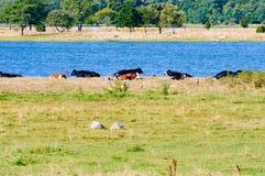Οι αγελάδες ποτίζουν πλησίον Στοκ φωτογραφία με δικαίωμα ελεύθερης χρήσης
