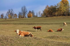 Οι αγελάδες στηρίζονται Στοκ Φωτογραφίες