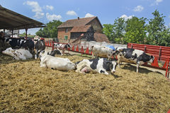 Οι αγελάδες στηρίζονται Στοκ Φωτογραφία