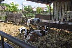 Οι αγελάδες στηρίζονται Στοκ Εικόνες