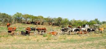 Οι αγελάδες στο λιβάδι συγκεντρώνουν Στοκ Φωτογραφίες