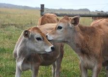 Οι αγελάδες στο λιβάδι συγκεντρώνουν Στοκ Εικόνες