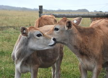 Οι αγελάδες στο λιβάδι συγκεντρώνουν Στοκ φωτογραφία με δικαίωμα ελεύθερης χρήσης