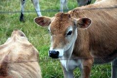 Οι αγελάδες στο λιβάδι συγκεντρώνουν Στοκ εικόνα με δικαίωμα ελεύθερης χρήσης