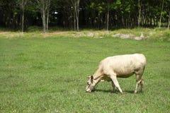 Οι αγελάδες τρώνε τη χλόη Στοκ Εικόνες