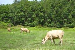 Οι αγελάδες τρώνε τη χλόη Στοκ Φωτογραφίες