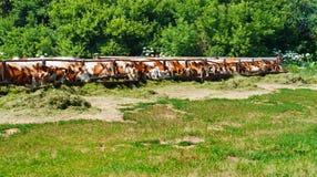 Οι αγελάδες τρώνε το χορτάρι Στοκ Φωτογραφίες