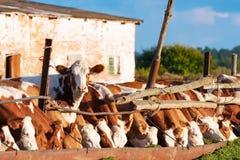 Οι αγελάδες τρώνε το χορτάρι Στοκ εικόνες με δικαίωμα ελεύθερης χρήσης