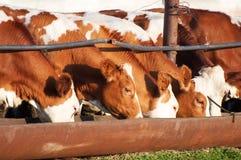 Οι αγελάδες τρώνε το χορτάρι Στοκ Εικόνες