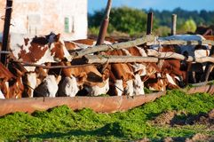 Οι αγελάδες τρώνε το χορτάρι Στοκ Εικόνα