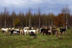 Οι αγροτικές αίγες τρώνε τη χλόη στον τομέα Στοκ Φωτογραφία