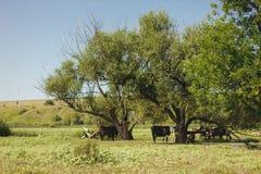 Οι αγροτικές αγελάδες στο λιβάδι στοκ εικόνες