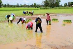Οι αγρότες αυξάνονται το κολλώδες ρύζι Στοκ Εικόνες