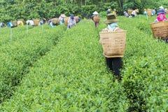 Οι αγρότες εργάζονται στον τομέα τσαγιού, Bao LOC, ήχος καμπάνας Lam, Βιετνάμ Στοκ φωτογραφία με δικαίωμα ελεύθερης χρήσης